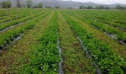 След Брекзит: Кой ще бере ягоди в Шотландия?